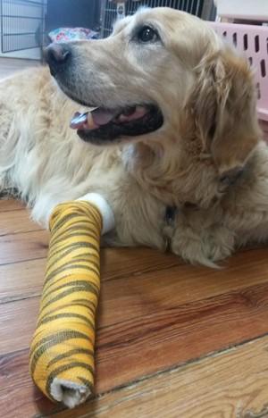 Foto de Figo, o cão-guia, com a patinha quebrada