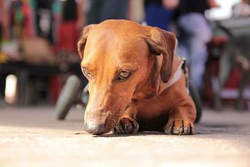 Close em, Frederico, um cão com deficiência, marrom, da raça dachshund
