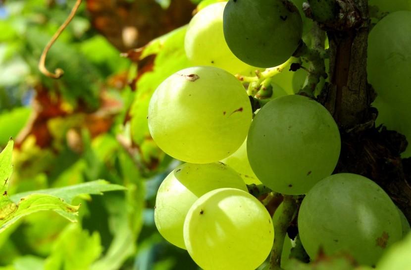 Foto de um cacho de uvas verdes em primeiro plano. em uma área verde, externa.