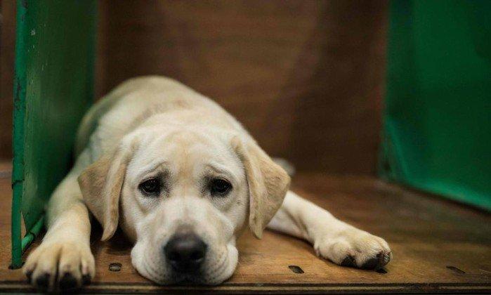 Foto de um labrador creme deitado, descansando