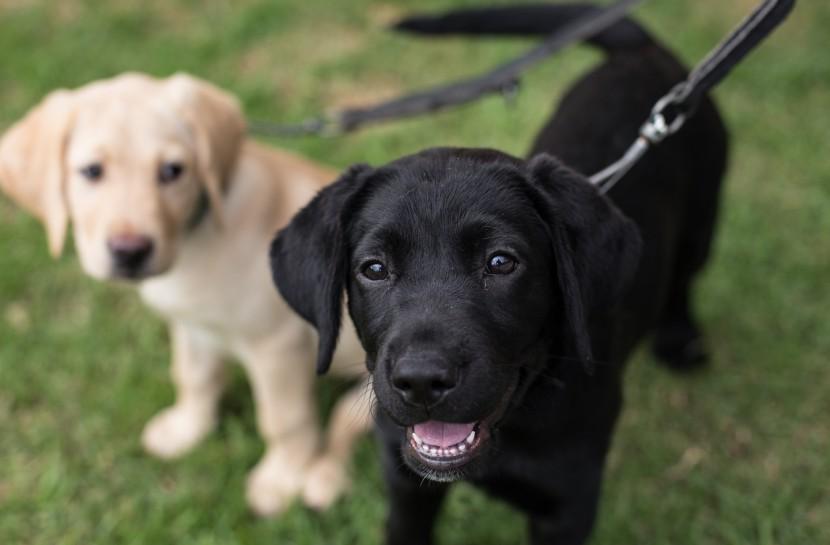 Foto de dois cães da raça labrador em um gramado