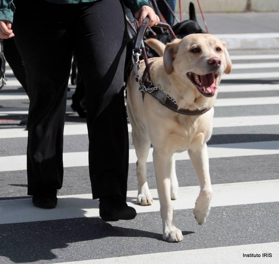 Cão-guia da raça labrador, de pelos claros, guiando sua tutora cega para atravessar a rua.